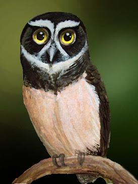PUCHACZYK ŻÓŁTOBRZUCHY ( Pulsatrix perspicillata )