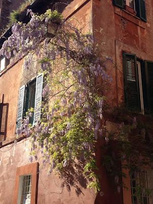 wisteria glicine trastevere vicolo del piede roma rome