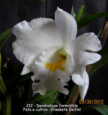 Dendrobium formidible do blogdabeteorquideas