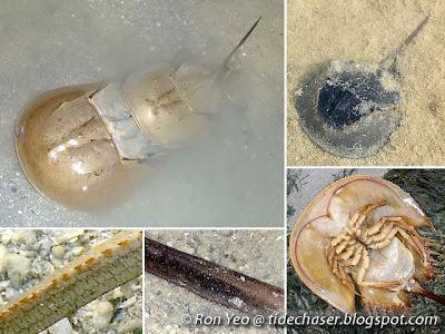 Horseshoe Crabs (Order Xiphosura, Family Limulidae)