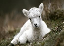 gambar kudis pada kambing