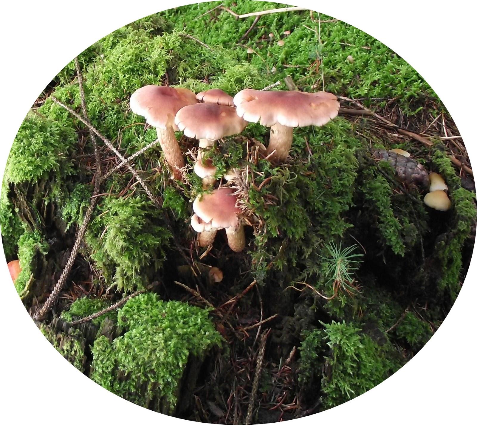 Pigeonnieresplendy2 sous bois - Les champignons de jardin sont ils comestibles ...