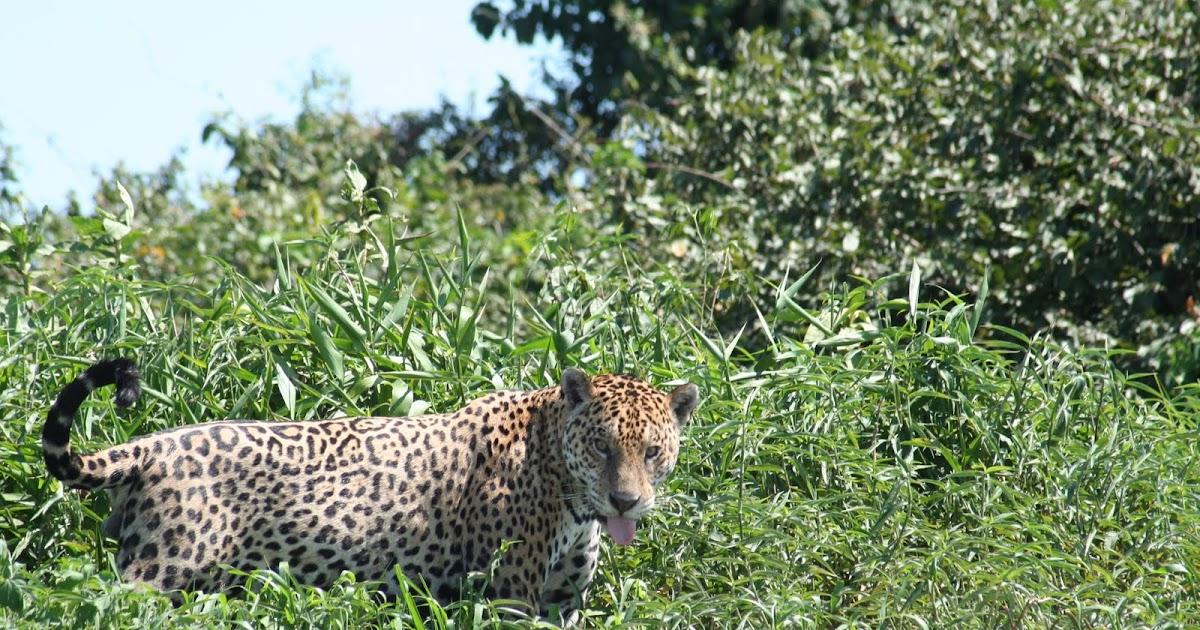 brazil ecoexplorer nature wildlife tours birding trips amazon pantanal tours pantanal. Black Bedroom Furniture Sets. Home Design Ideas