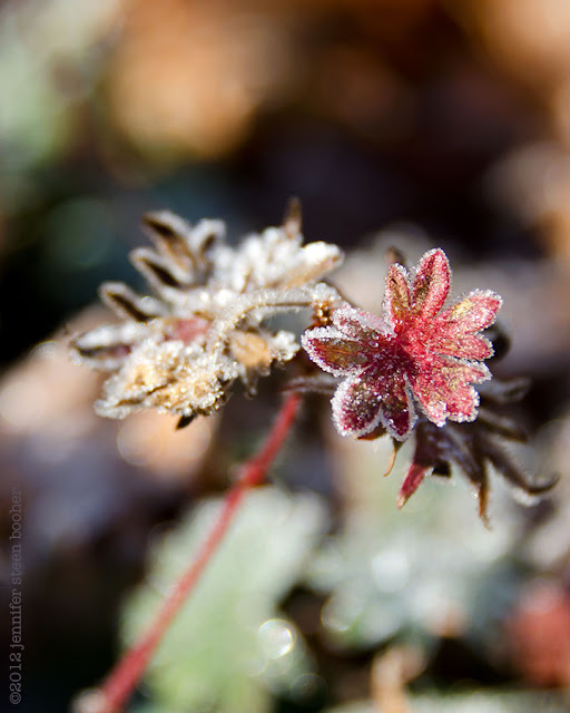 frost dusting ice crystal red leaf sparkle winter frozen maine garden