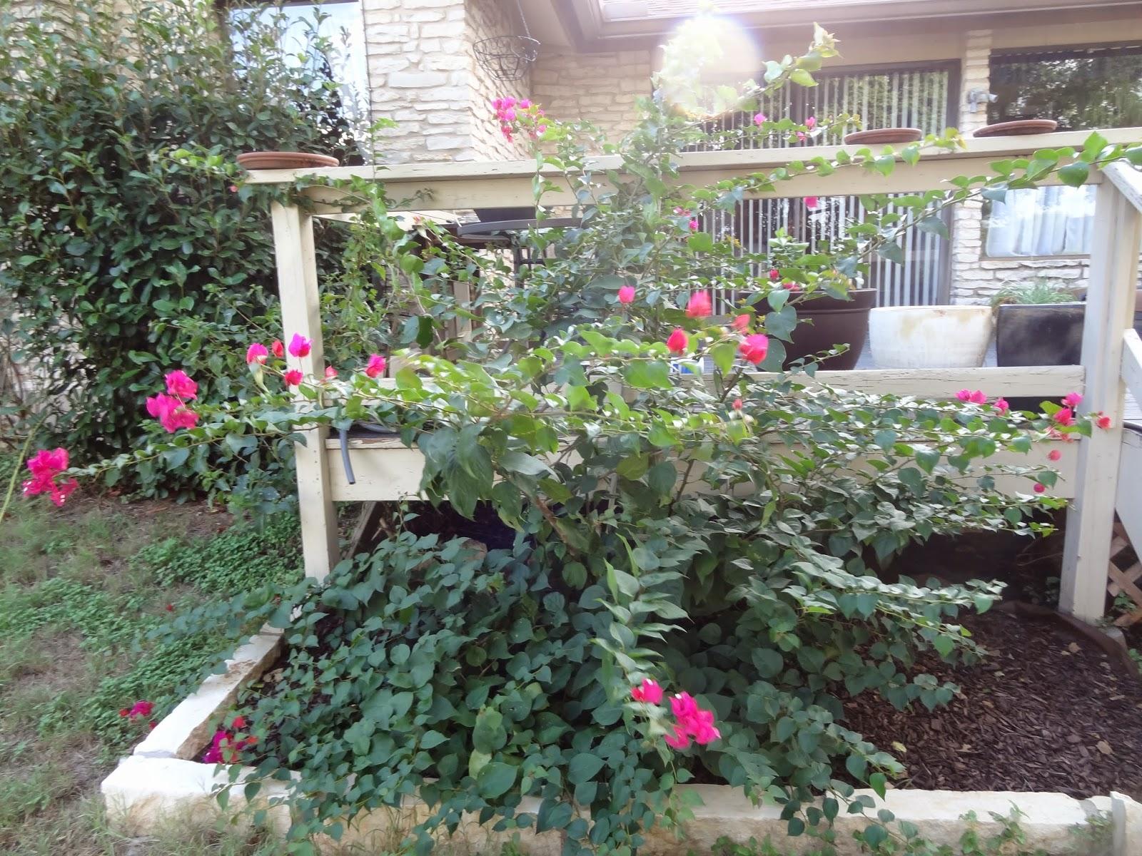 rebecca u0027s texas garden september 2014 blooms