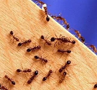 شاهد كيف يبني النمل جسر من أجسامهن لعبور الحفر