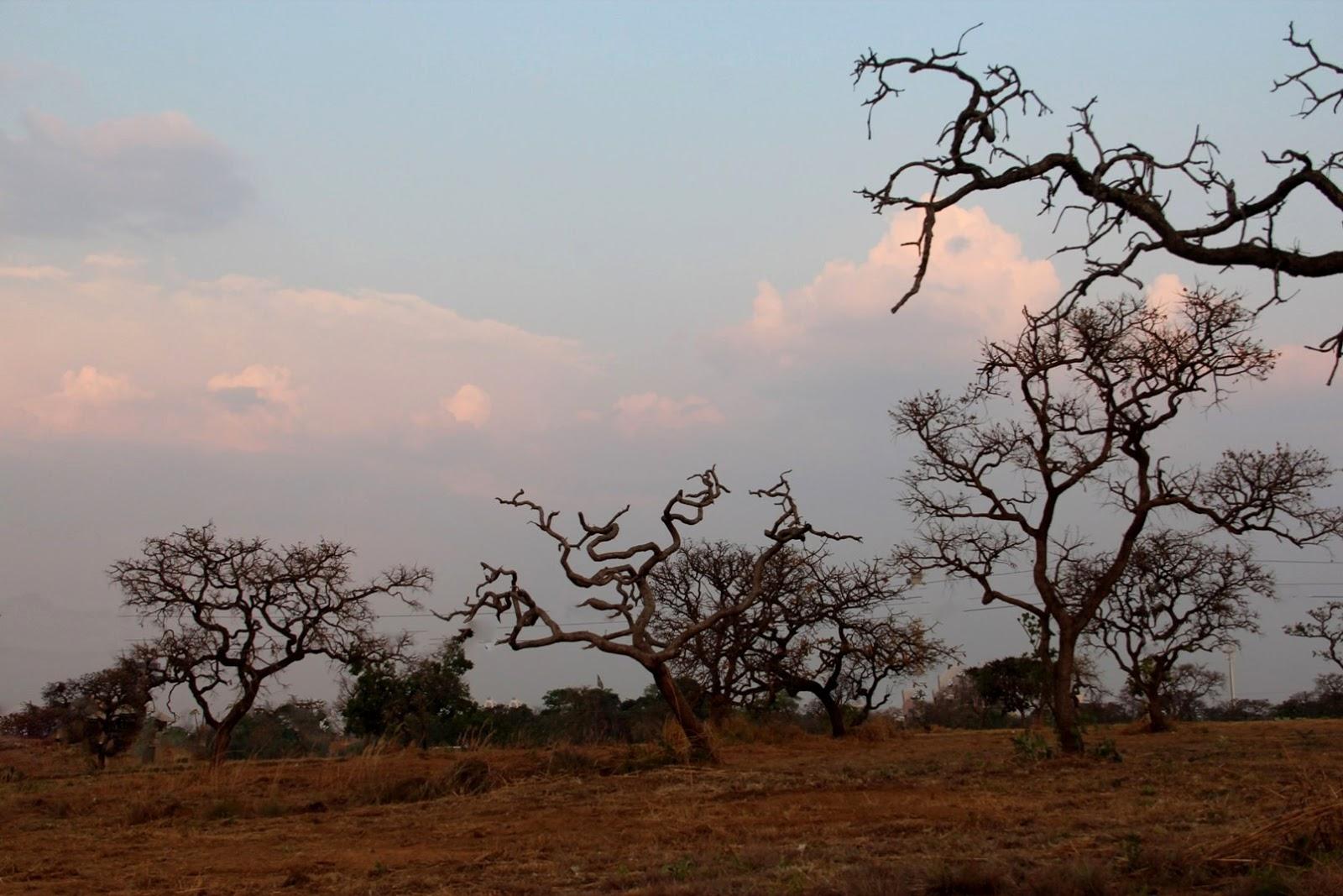 Árvores secas do Cerrado - No auge da seca, a maioria das árvores já estão desfolhadas e basta um sinal de umidade no ar pela aproximação das chuvas que elas se cobrem de folhas com toda força vestindo de verde. Porém, seus esqueletos sempre nos proporcionam uma visão maravilhosa-