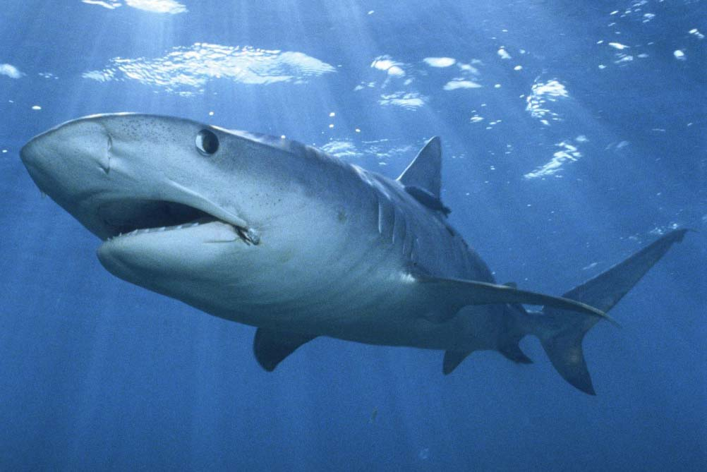great white shark mouth hd wallpapers images 2013 top hd