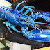 Espécie rara de lagosta azul é encontrada por pescador no Canadá
