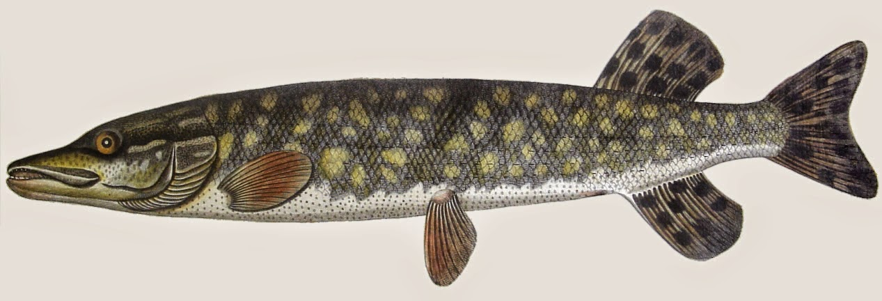 http://sciencythoughts.blogspot.co.uk/2014/09/the-genetic-diversity-of-northern-pike.html