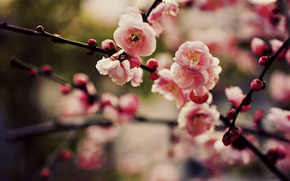 Pink Cherry Blossoms Sakura and Branchs HD Nature Wallpaper