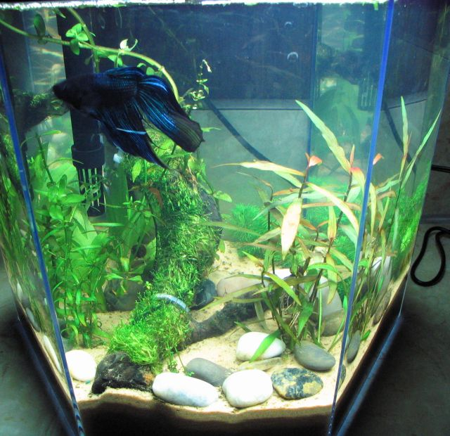 Betta fish tips betta fish care free guide for Betta fish care guide