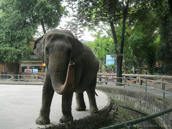 Lone elephant of Manila Zoo