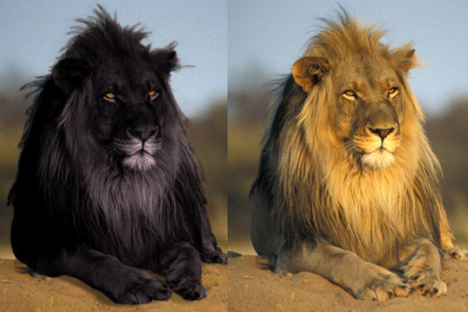 Photoshopped black lion Photo  Lion