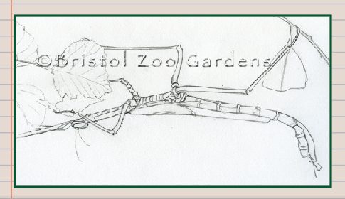 Diary Of A Zoo Illustrator Goliath Stick Insect Illustration