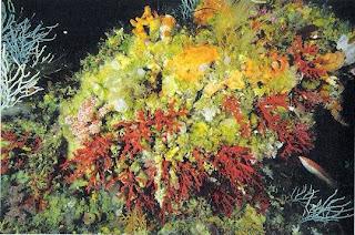Coral rojo - Mar de Alborán