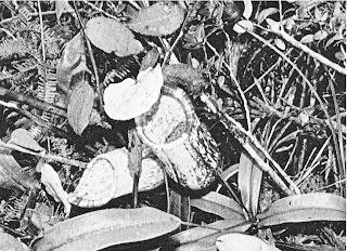 Gambar  17 : Tumbuhan kantung semar
