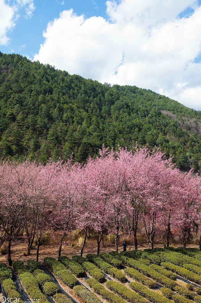 2014台中武陵農場櫻花季 全台灣最美麗的賞櫻景點