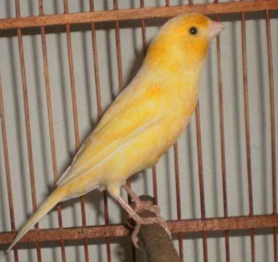 Gambar Cara Merawat Burung Kenari Lokal