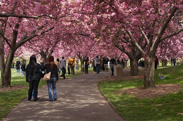 enfeites japoneses para jardim:Cherry Blossom Festival Washington DC 2016