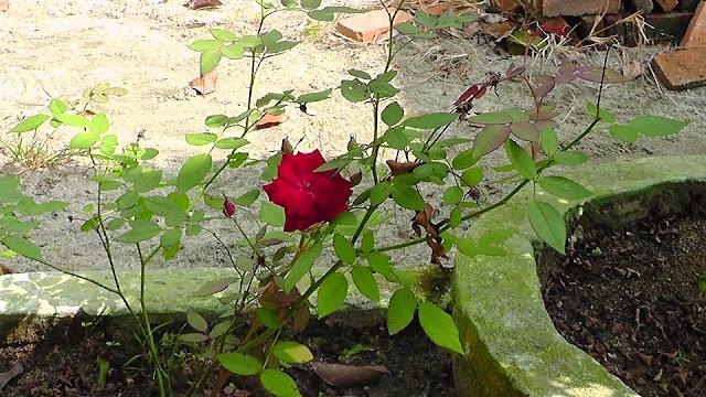 Foto Natural Bunga Mawar