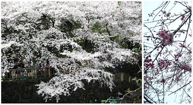 cherry blossoms at chidorigafuchi tokyo