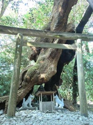 Arbre sacré du sanctuaire Tsukiyomi 月夜見宮