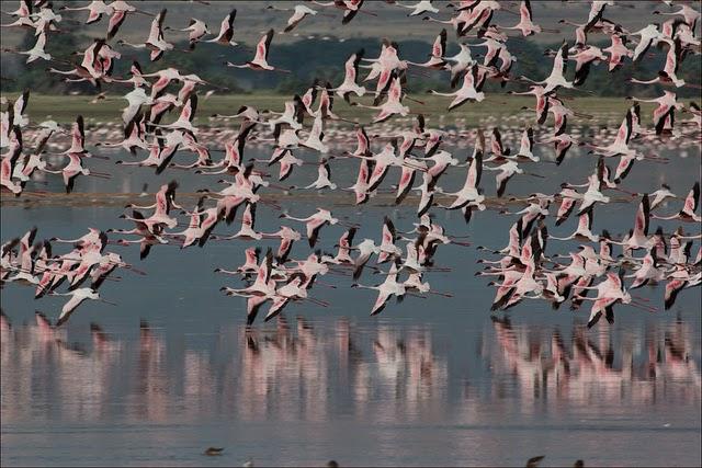 lago natron fenicotteri rosa tanzania
