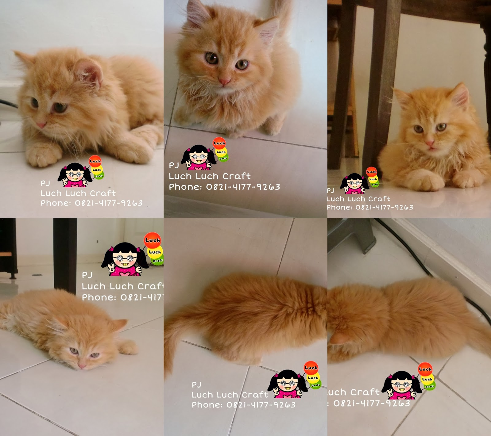 The Story Of My Cats Jual Beli Kucing Persia Anggora