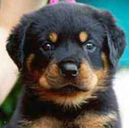 Rottweiler puppies for sale new zealand