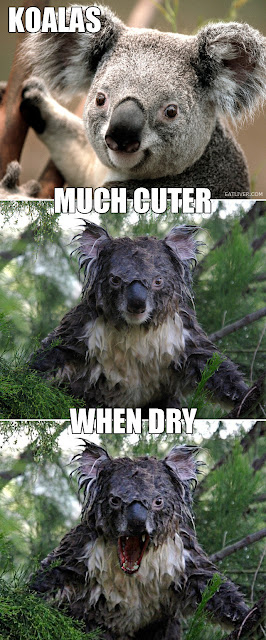 koalas much cuter when dry