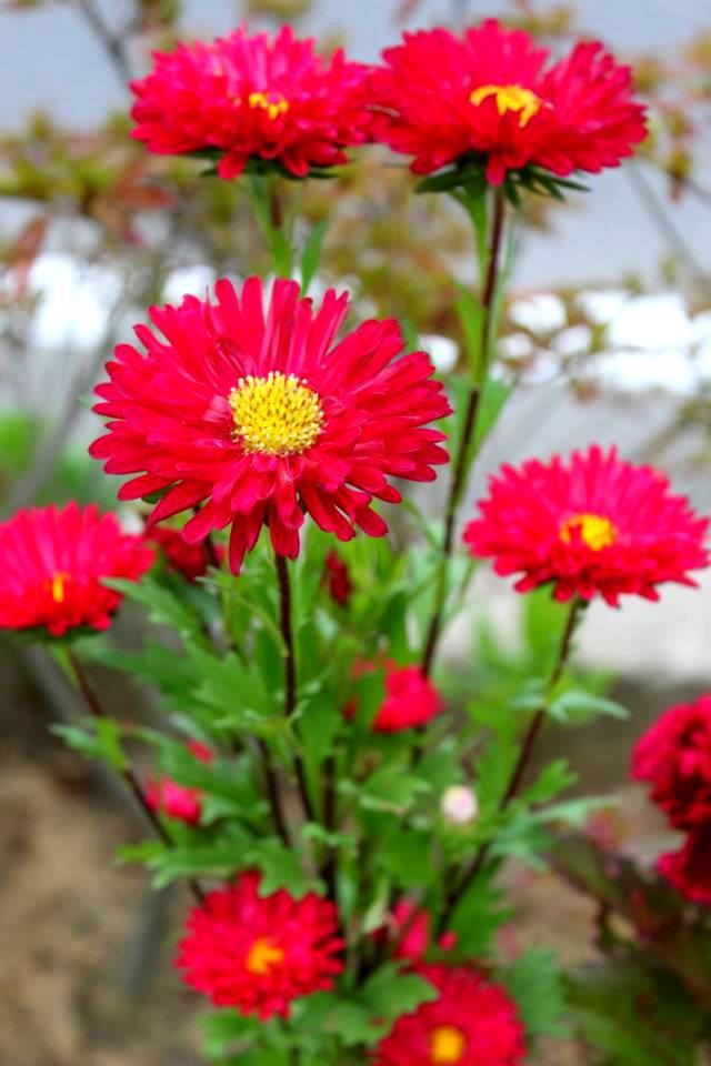 bulaklak decor red aster, Beautiful flower