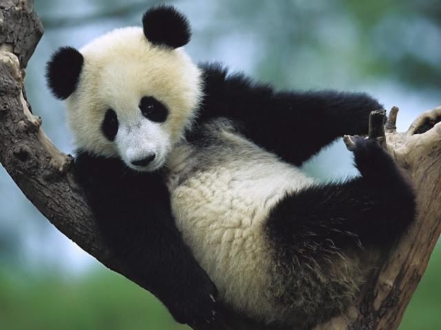 panda bears pictures