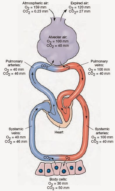 Biology diagramsimagespictures of human anatomy and physiology exchange of gases in lungs tissues diagram posted ccuart Gallery