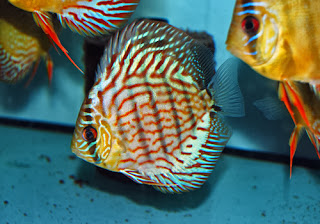 discus fish information
