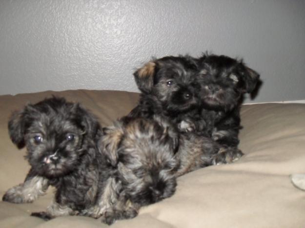 cute dogs miniature schnauzer puppies salt and pepper