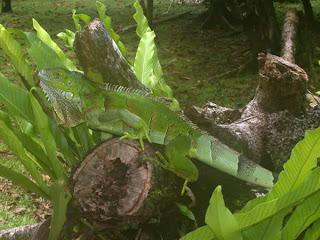 ¿como prevenir las enfermedades en las iguanas?