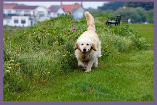 pictures of golden retriever dogs
