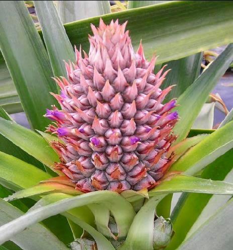 Taxonomía, Botánica y Fisiología de la Piña Tropical | La Piña Tropical