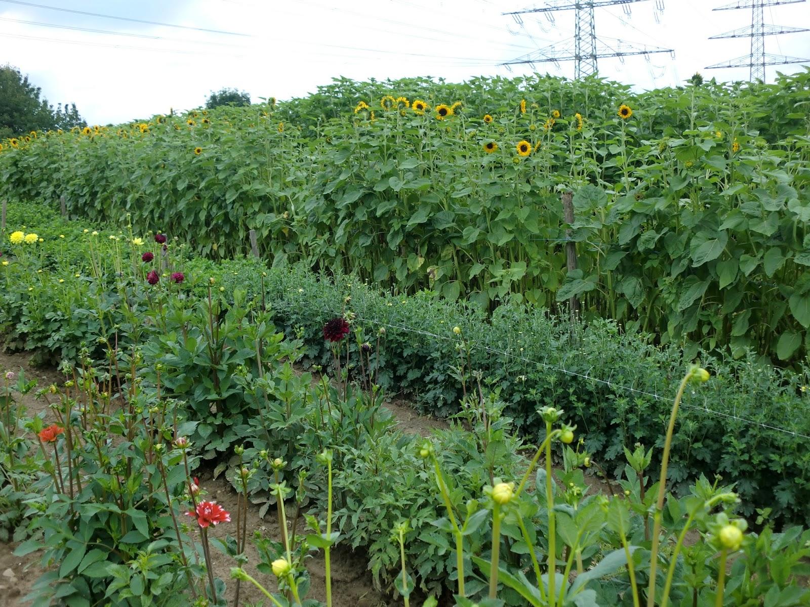 Blumenfeld Dahlien und Sonnenblumen