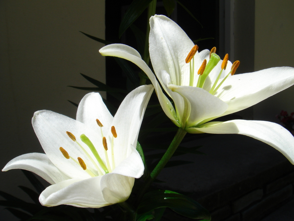 funny wallpapers|hd wallpapers: lily flower