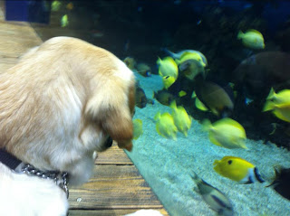 Golden Laila sits nose to nose with a large fish tank with tropical fish inside.
