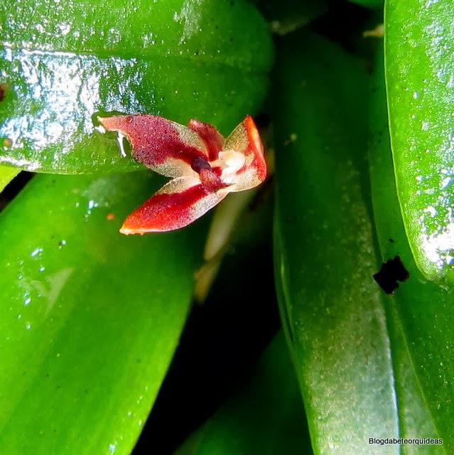Pleurothallis breviscapa, Panmorphia