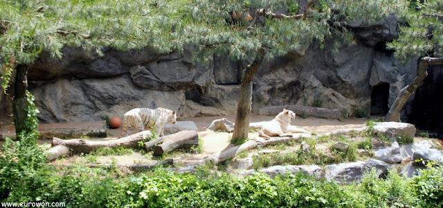 Tigres blancos en Everland