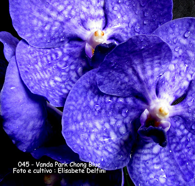 Vanda Park Chong Blue do blogdabeteorquideas