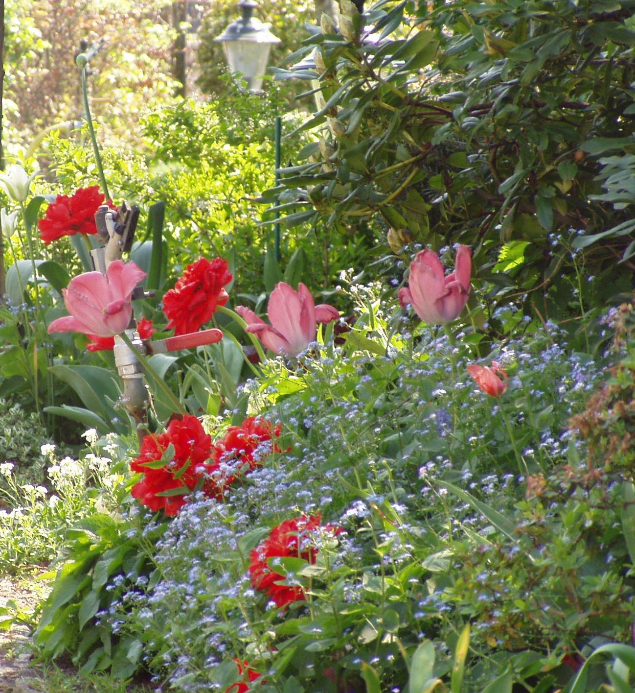 viburnum burkwoodii anne russell op stam