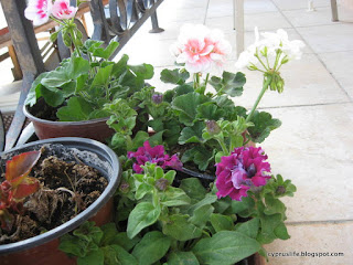 new geranium plants