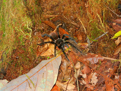 Panama Red-rumped Tarantula