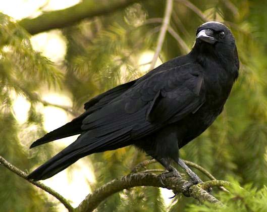 Burung Gagak, Crow