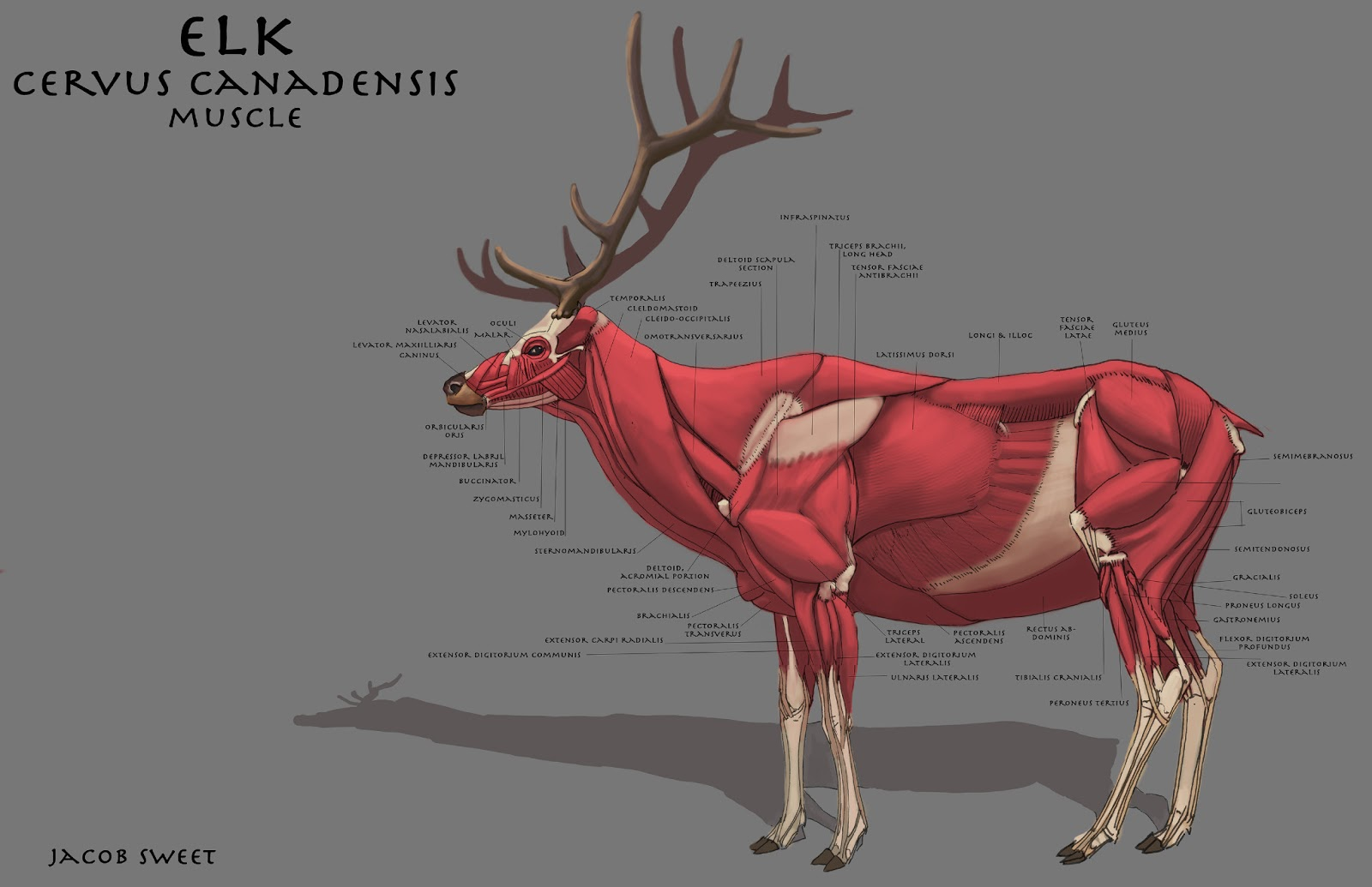 Elk Anatomy Diagram Image collections - human body anatomy